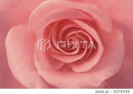 薔薇 2079439