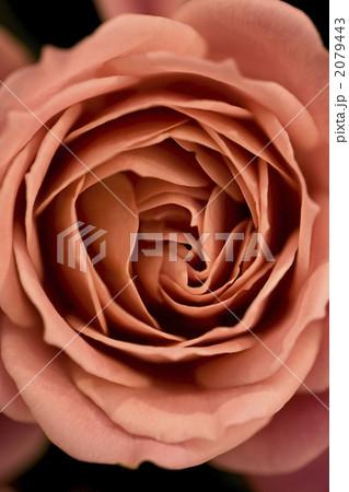 薔薇 2079443