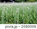 ニラ 花ニラ 野菜の写真 2080006