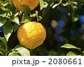 ゆず 柑橘類 実るの写真 2080661