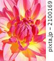 天竺牡丹 テンジクボタン マイルドウッドマリーの写真 2100169