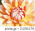 テンジクボタン 天竺牡丹 纏枝牡丹の写真 2100170