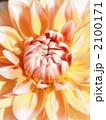 テンジクボタン 天竺牡丹 纏枝牡丹の写真 2100171