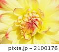 ファンファン 天竺牡丹 テンジクボタンの写真 2100176