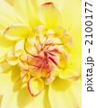 ファンファン 天竺牡丹 テンジクボタンの写真 2100177