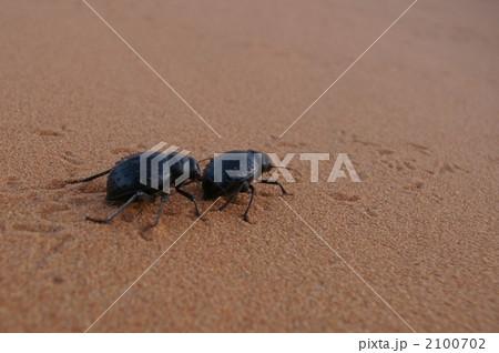 サハラ砂漠のフンコロガシ 2100702