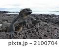 ウミイグアナ 海イグアナ イグアナの写真 2100704