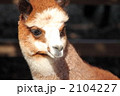 あるぱか アルパカ 陸上動物の写真 2104227