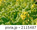 菜の花畑 ナバナ 菜の花の写真 2115487
