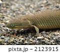 セネガルス ポリプテルス 古代魚の写真 2123915