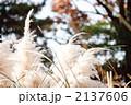 パンパスグラス 植物 花穂の写真 2137606