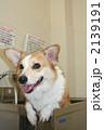 コーギー 動物 犬の写真 2139191