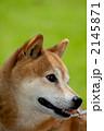 柴犬 2145871