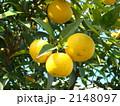 ゆず 柚子 ユズの写真 2148097
