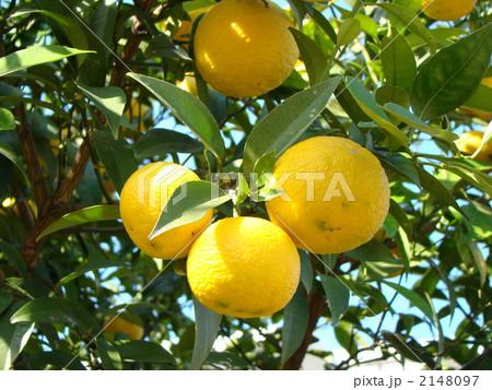 柚子 2148097