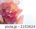 スイートピー ジャコウエンドウ カオリエンドウの写真 2153624