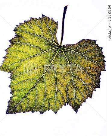 ぶどうの葉の葉脈 2153964