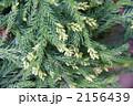 杉の蕾 杉の花 杉の枝の写真 2156439