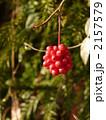 赤い実 ビナンカズラ サネカズラの写真 2157579