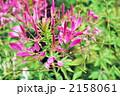 クレオメ 風蝶草 セイヨウフウチョウソウの写真 2158061