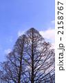 針葉樹 メタセコイア メタセコイヤの写真 2158767