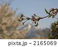 雪山に映える満開桜 2165069