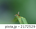 ハナアブ ホソヒラタアブ 昆虫の写真 2172529