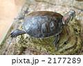 ミドリガメ 甲羅干し 亀の写真 2177289