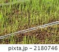 お米苗の発芽すぐの状態 2180746