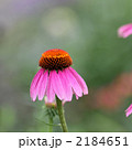 ムラサキバレンギク エキナセア 植物の写真 2184651