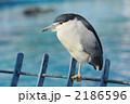 ゴイサギ サギ 鳥類の写真 2186596