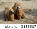 母子 陸上動物 草食動物の写真 2186607