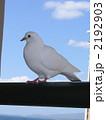 白いハト 2192903
