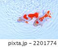 サカナ 出雲ナンキン キンギョの写真 2201774