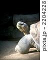 ゾウガメ リクガメ ガラパゴスゾウガメの写真 2204228