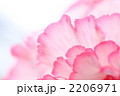 フリルのような花びら 2206971