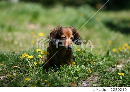 タンポポと犬 2220219