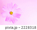 コスモス 2228318