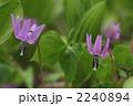 男山自然公園 二つのカタクリ 2240894