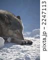 シンリンオオカミ オオカミ 狼の写真 2247113