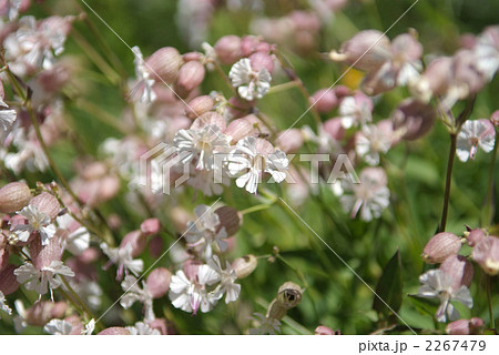 スイスアルプスの夏に咲くヨーデルワイス 2267479