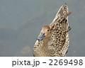 尾長鴨 オナガガモ 野鳥の写真 2269498