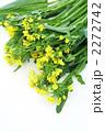 ナバナ なばな 菜花の写真 2272742
