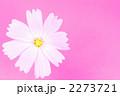 コスモス 2273721