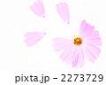 コスモス 2273729