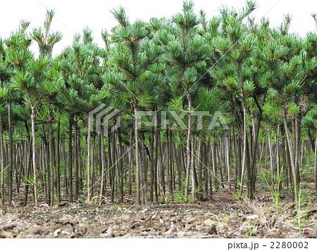 松の苗木畑 2280002
