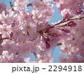 八重紅彼岸桜 2294918