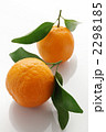 椪柑 凸柑 ポンカンの写真 2298185