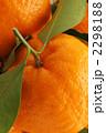 椪柑 凸柑 ポンカンの写真 2298188