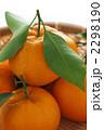 椪柑 凸柑 ポンカンの写真 2298190
